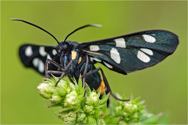 Nine-spotted moth