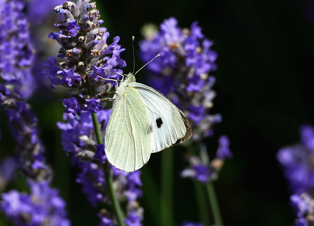 On The Lavender