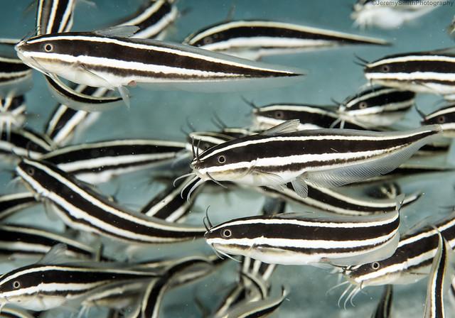 Striped Eel Catfish, Plotosus lineatus, Gangga Island, Sulawesi, Indonesia