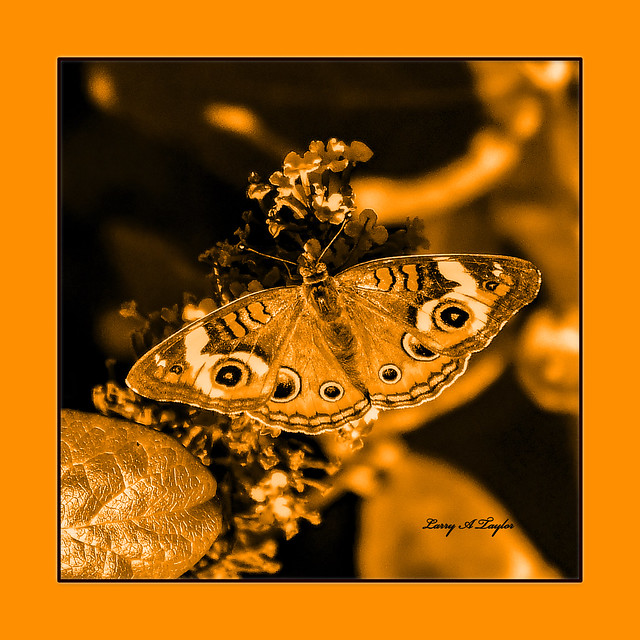 Butterfly-13x13-Goldframe-Luminosity image for Throw Pillows and Quilt Squares