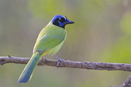 Green Jay (Cyanocorax yncas), Bentsen-Rio Grande Valley State Park, Texas