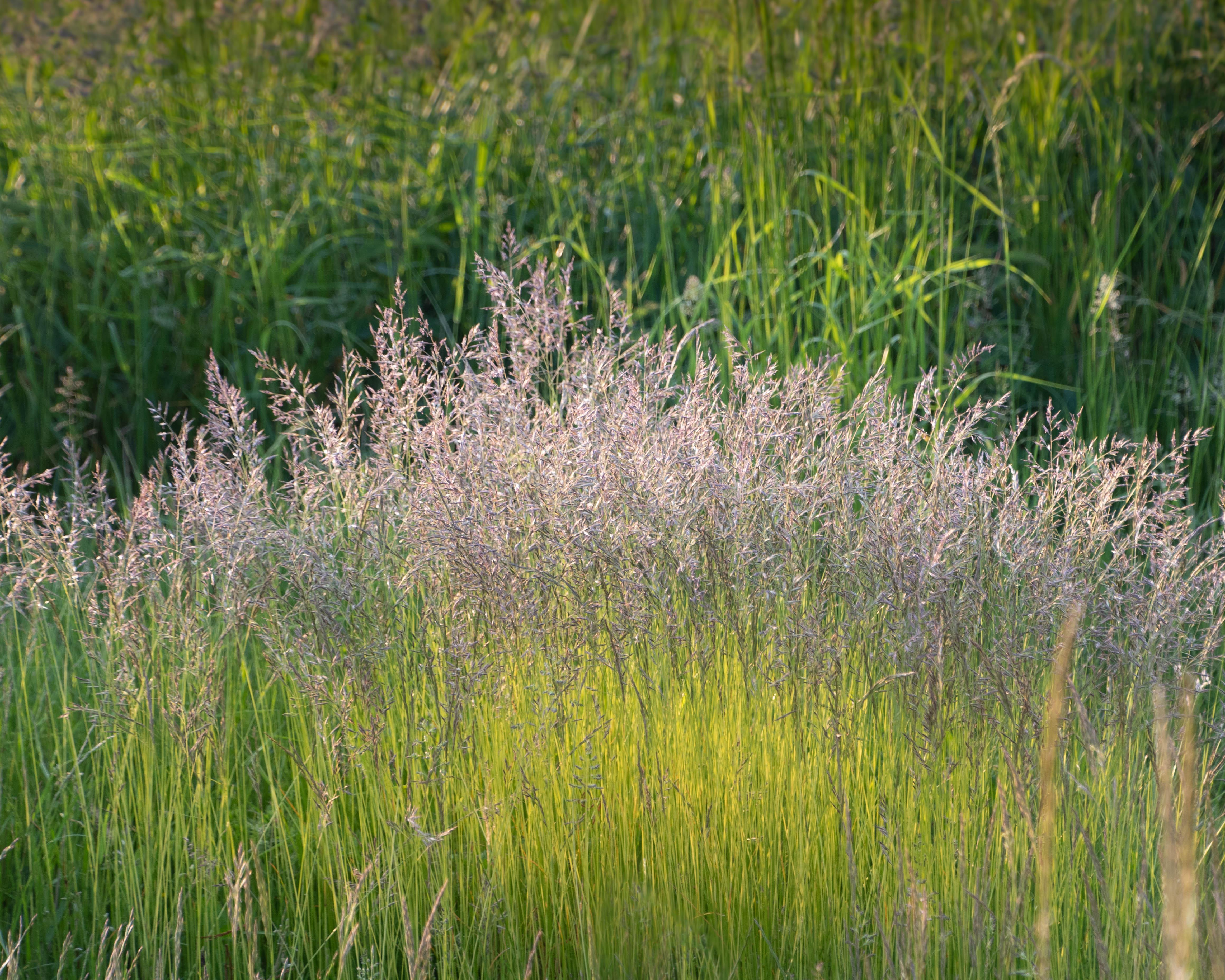 Summer_green_grass.jpg