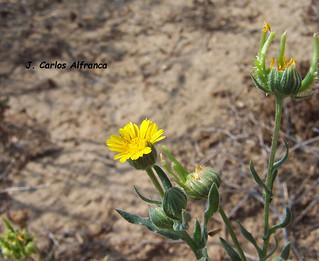 Calendula-arvensis
