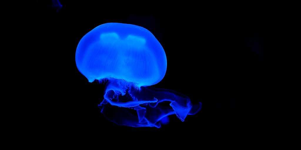 les-spermatozoïdes-méduses-aiguillons-femelles