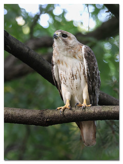 Pale Male (Adult Red-tailed Hawk)