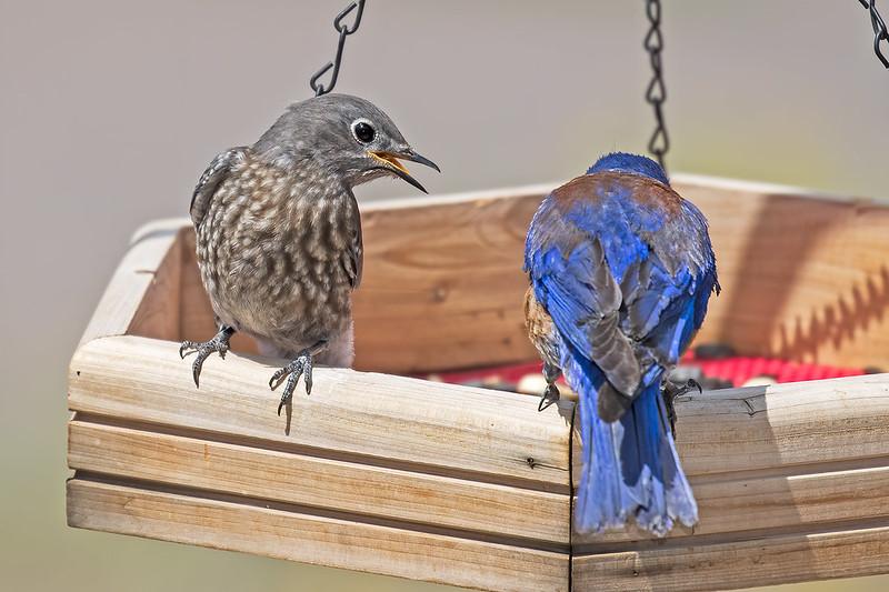 Western-Bluebird-25-7D2-070519