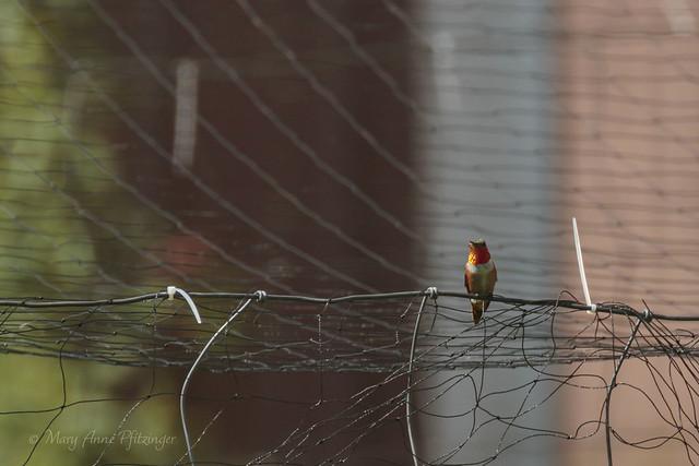 Rufous Hummingbird_0565