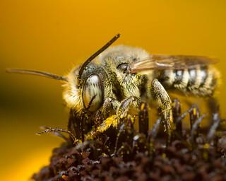Long Horned Bee (Melissodes spp.)