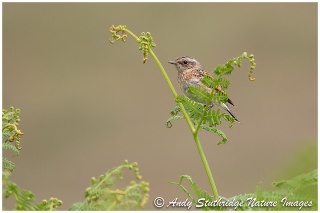 Whinchat Fledgeling