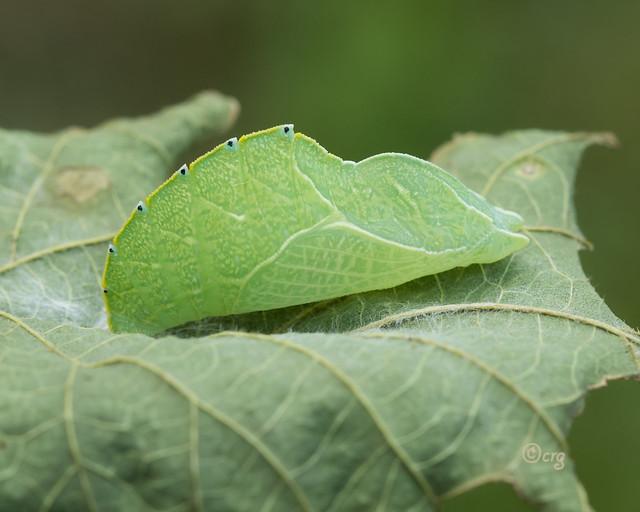 tawny emperor chrysalis