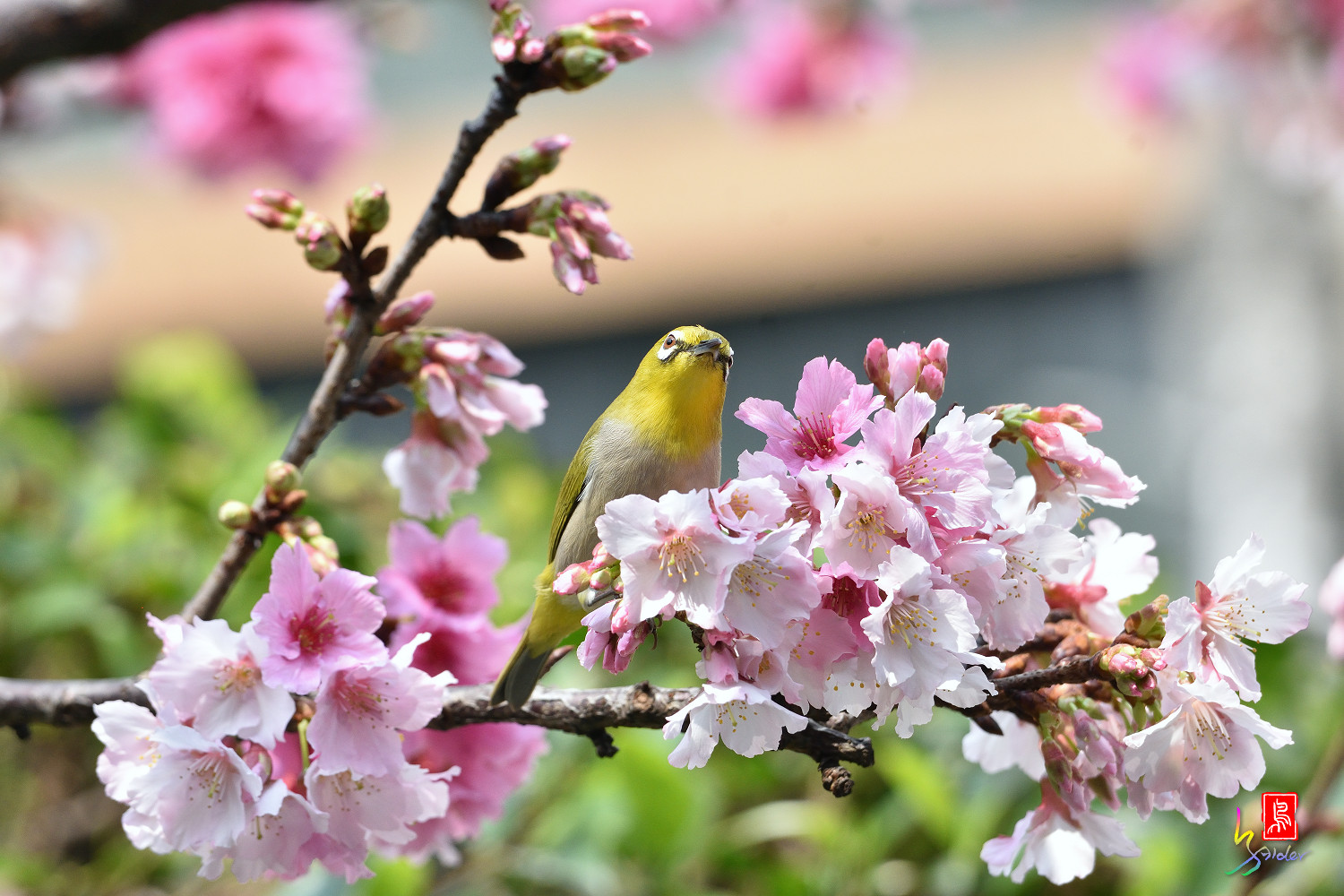 White-eye_Sakura_4440