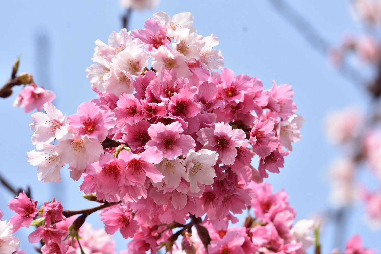 Sakura_4336