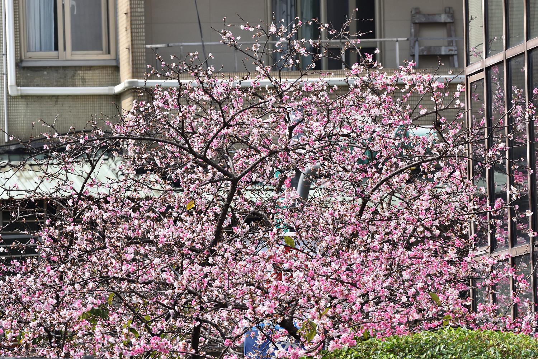 Sakura_4321