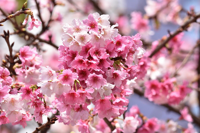 Sakura_4200