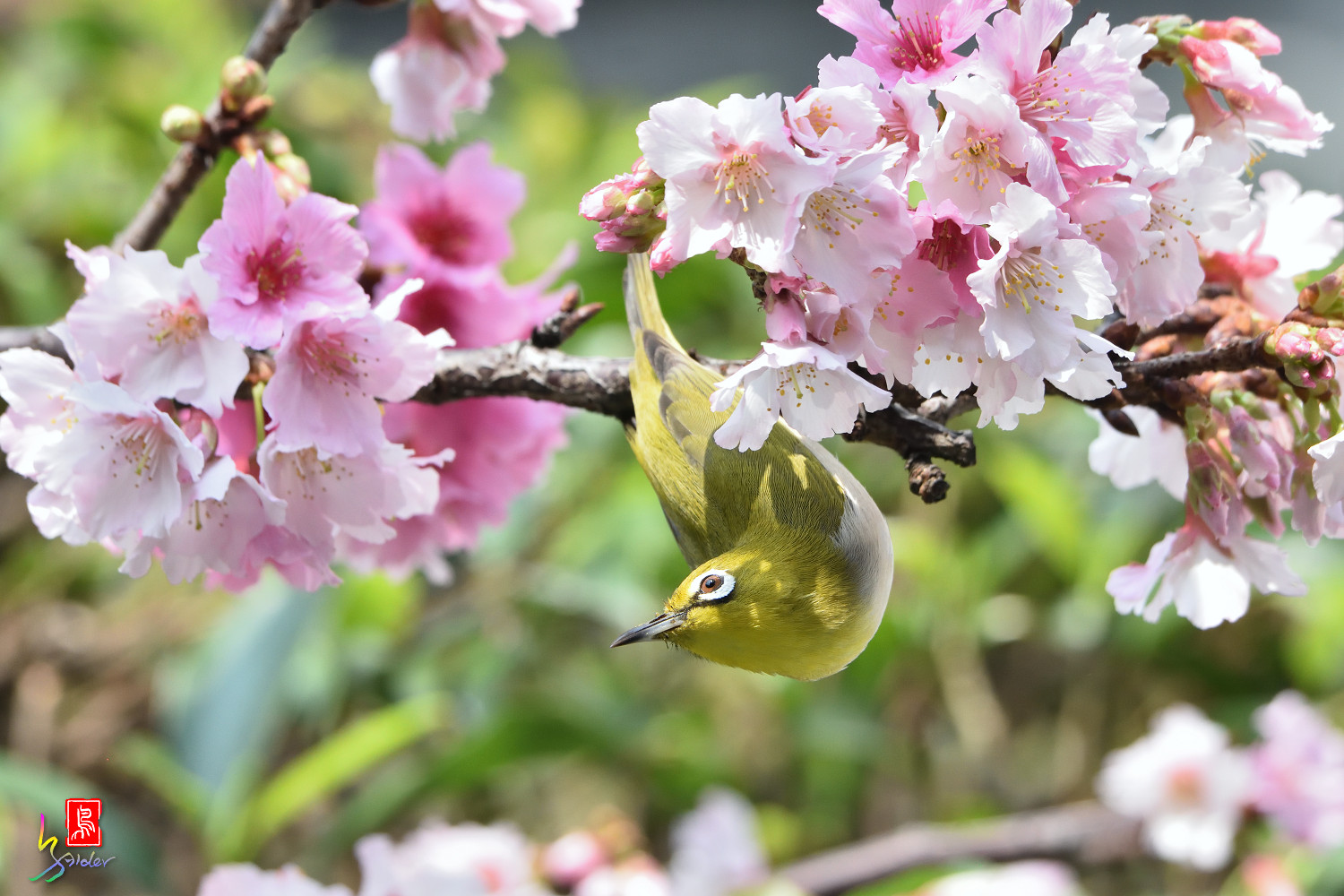 White-eye_Sakura_4411
