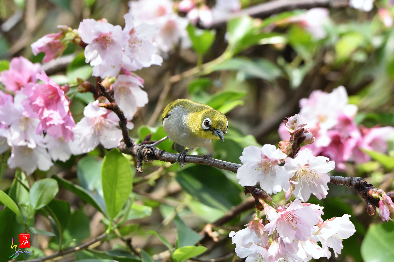 White-eye_Sakura_4381