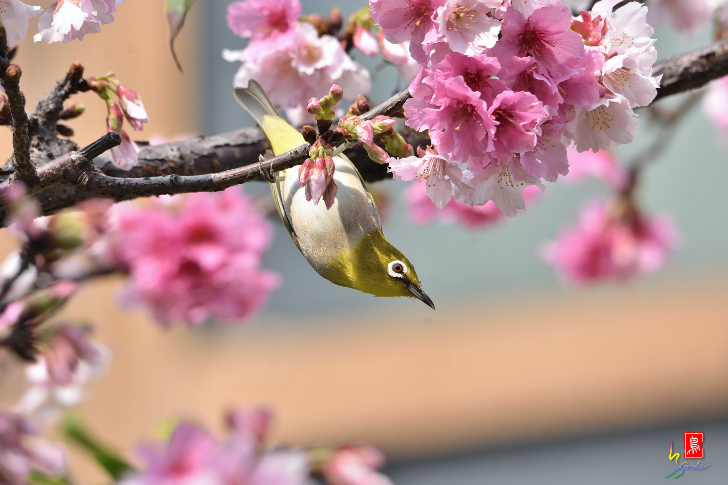 White-eye_Sakura_4352