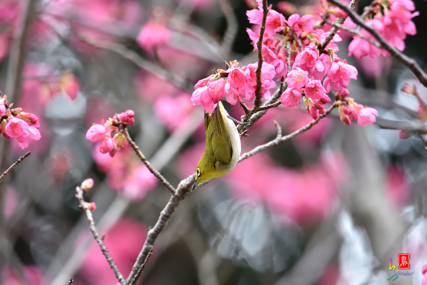 White-eye_Sakura_3723