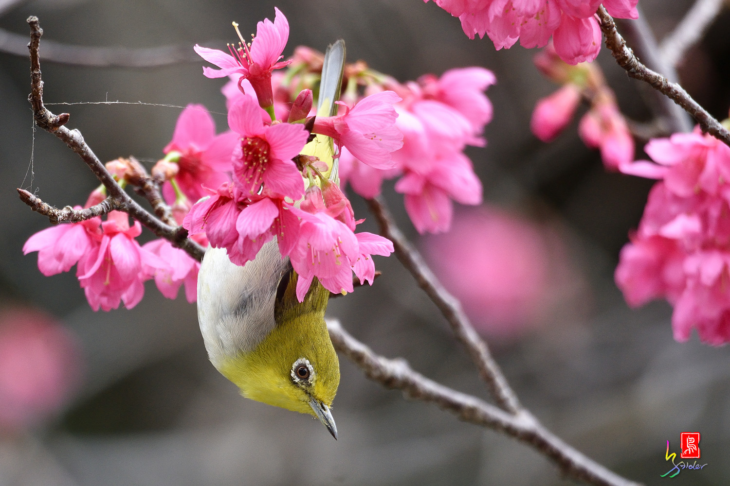 White-eye_Sakura_3704