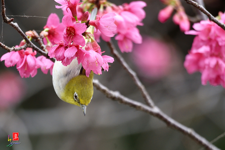 White-eye_Sakura_3703