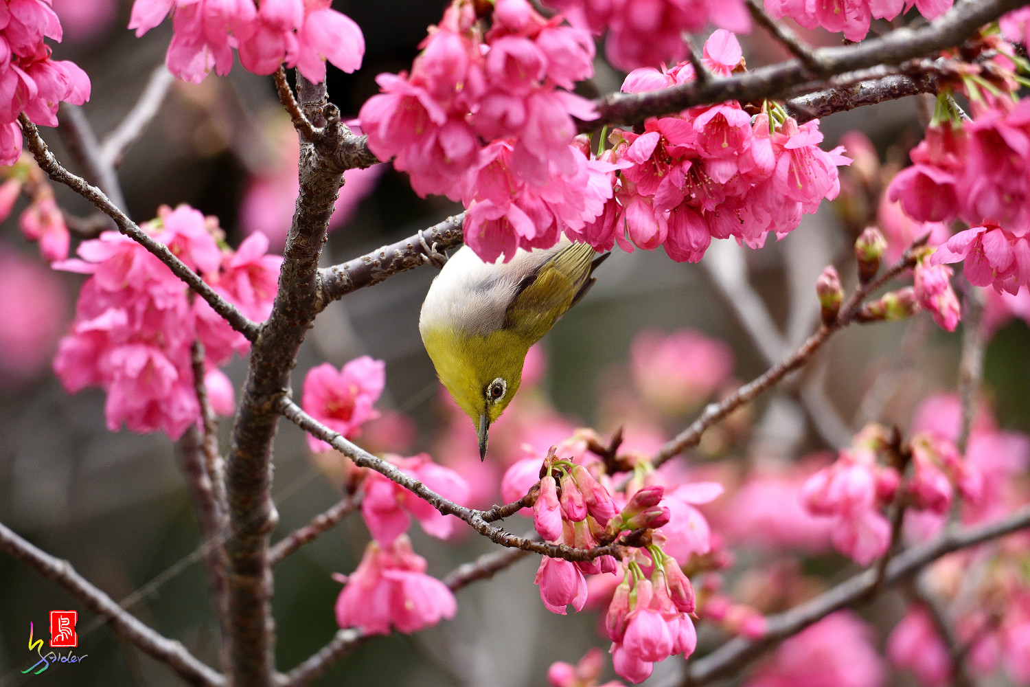 White-eye_Sakura_3693
