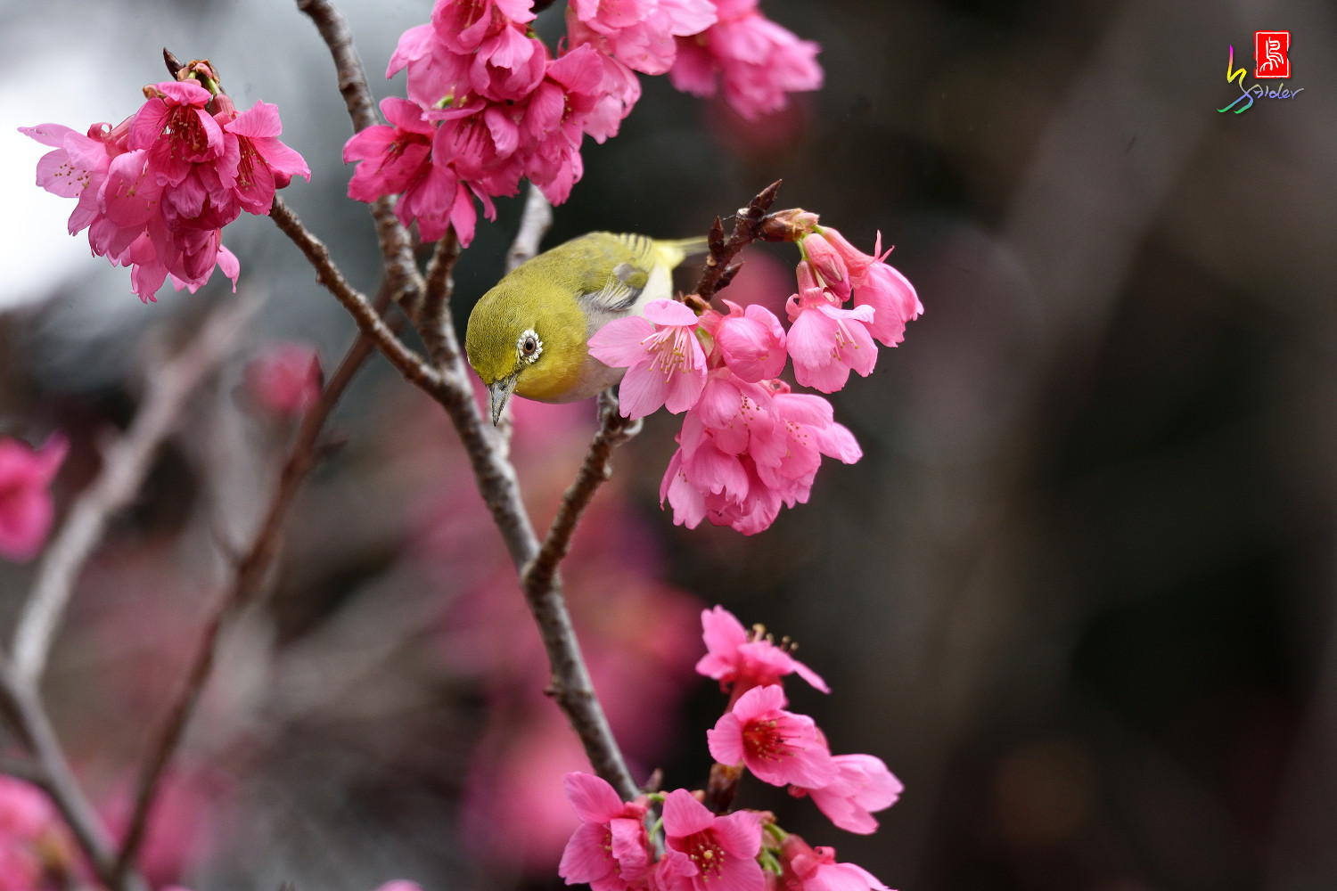 White-eye_Sakura_3680