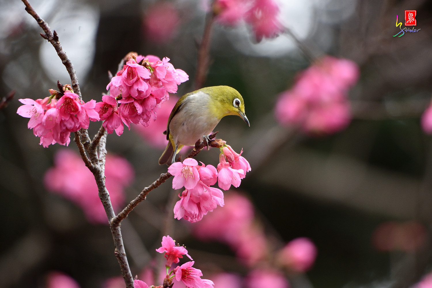 White-eye_Sakura_3664
