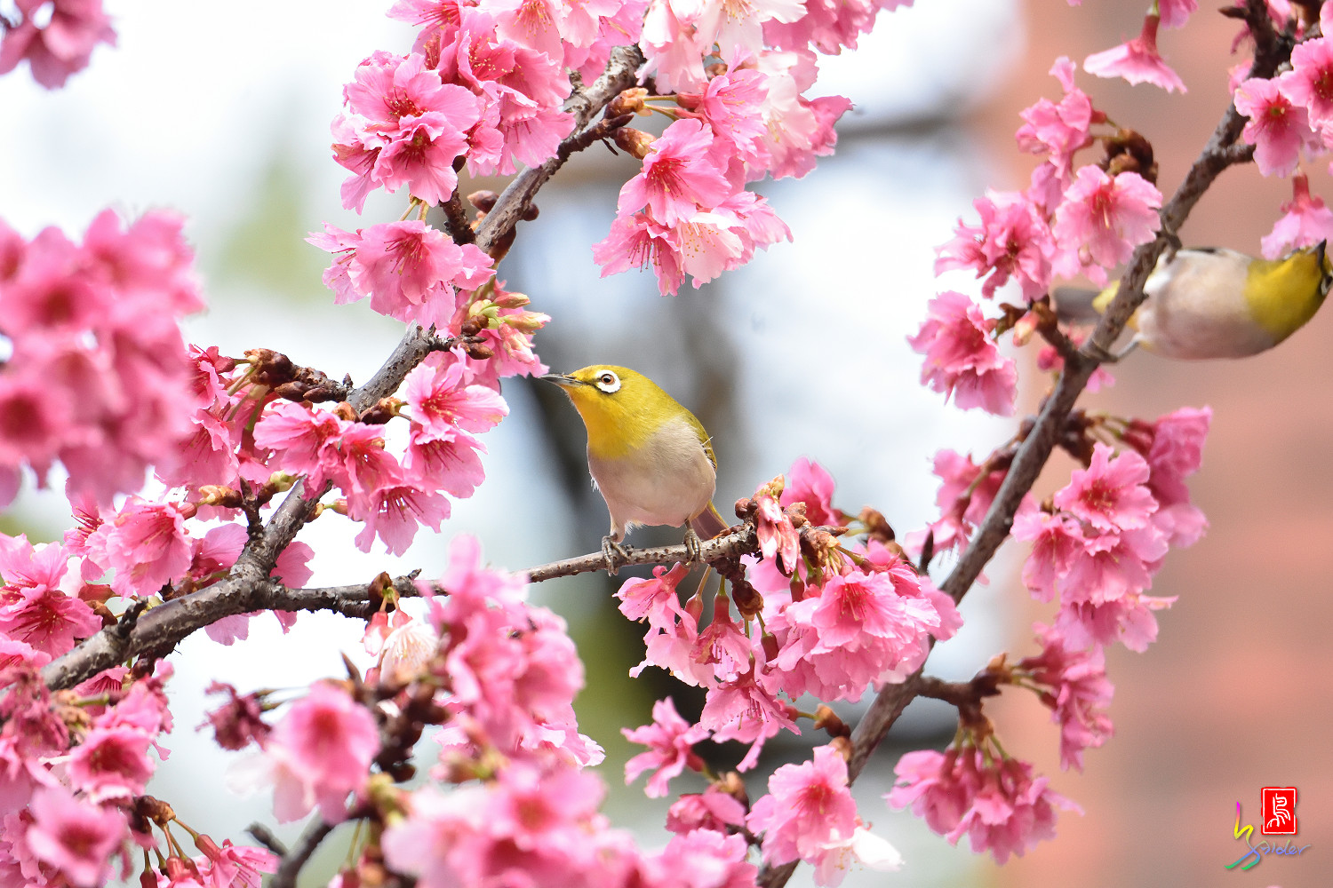 White-eye_Sakura_4971