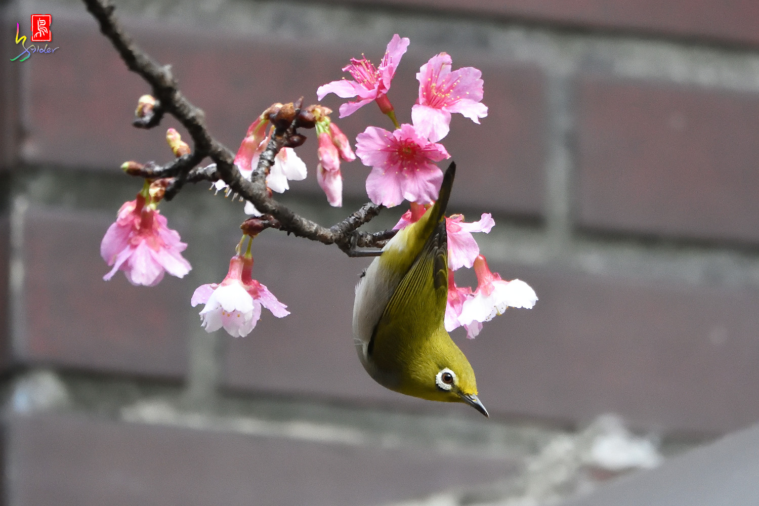 White-eye_Sakura_4837