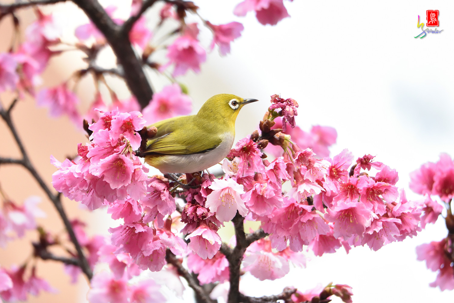 White-eye_Sakura_4946