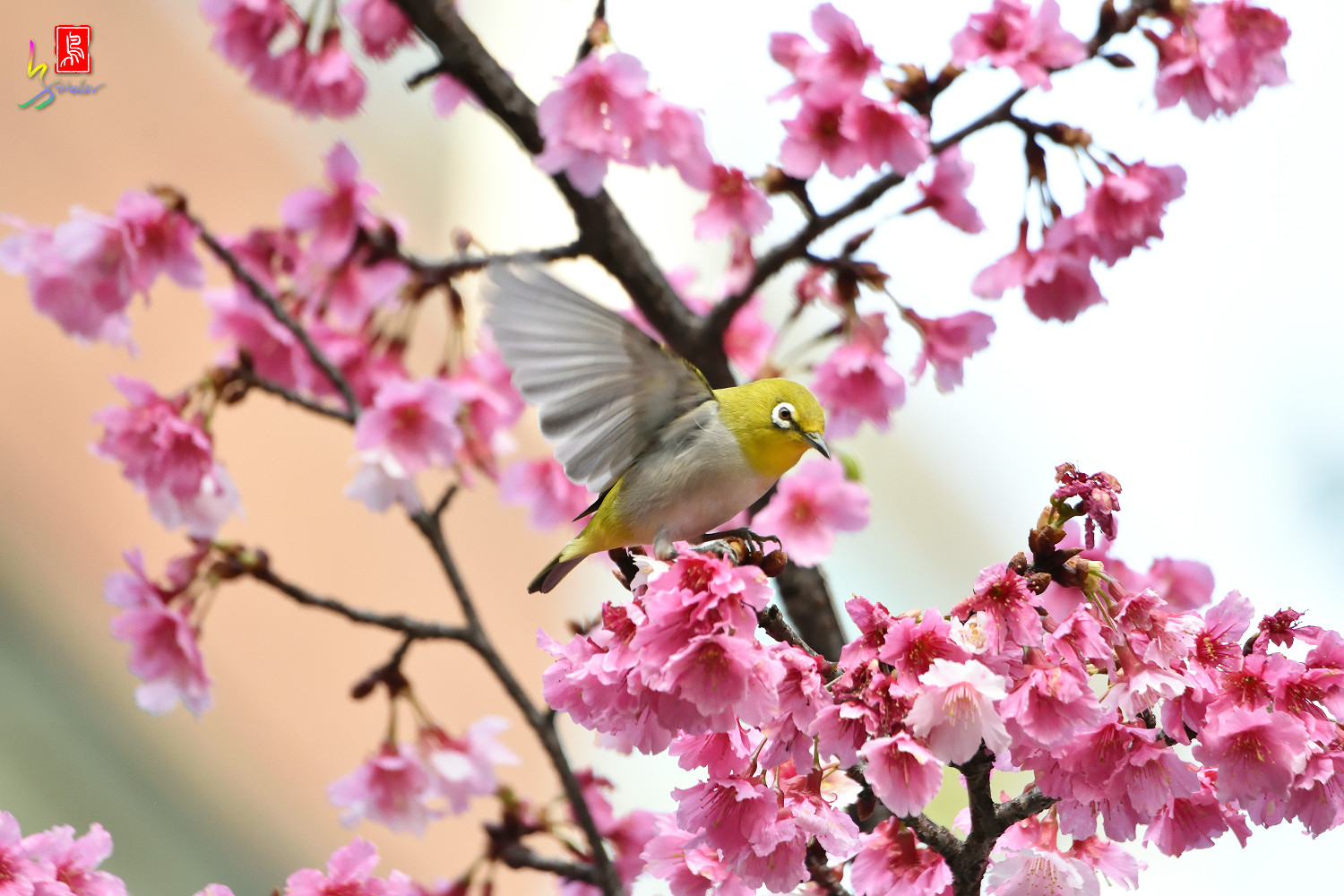 White-eye_Sakura_4937
