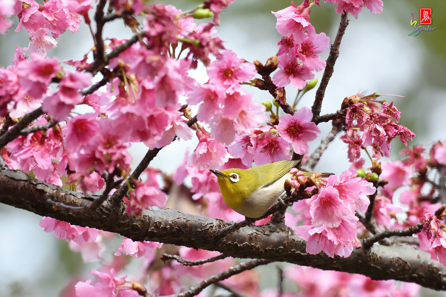 White-eye_Sakura_4875