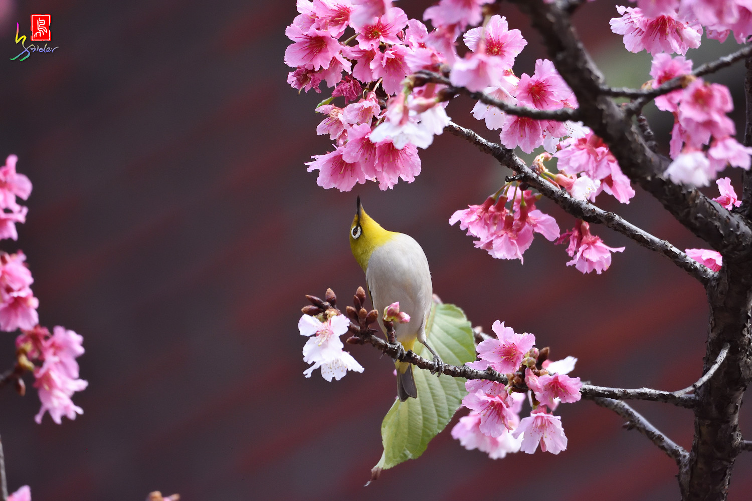 White-eye_Sakura_4868