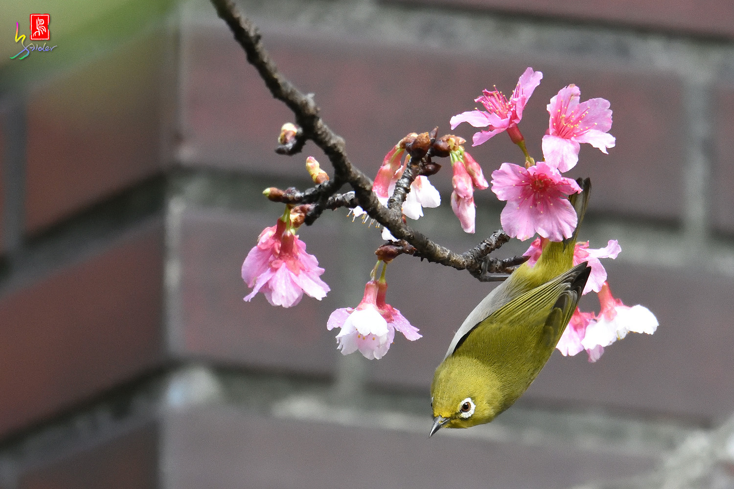 White-eye_Sakura_4841