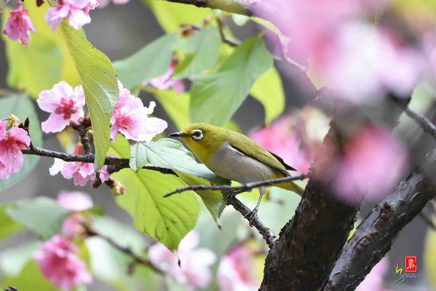 White-eye_Sakura_4819