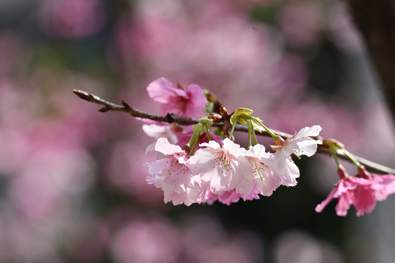Sakura_4323
