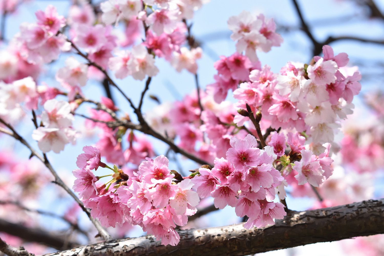 Sakura_4207