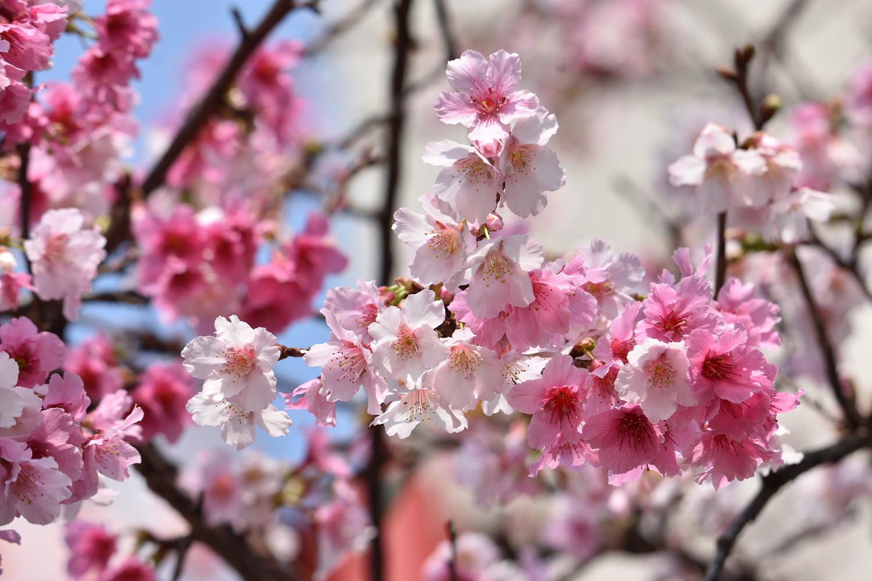 Sakura_4204