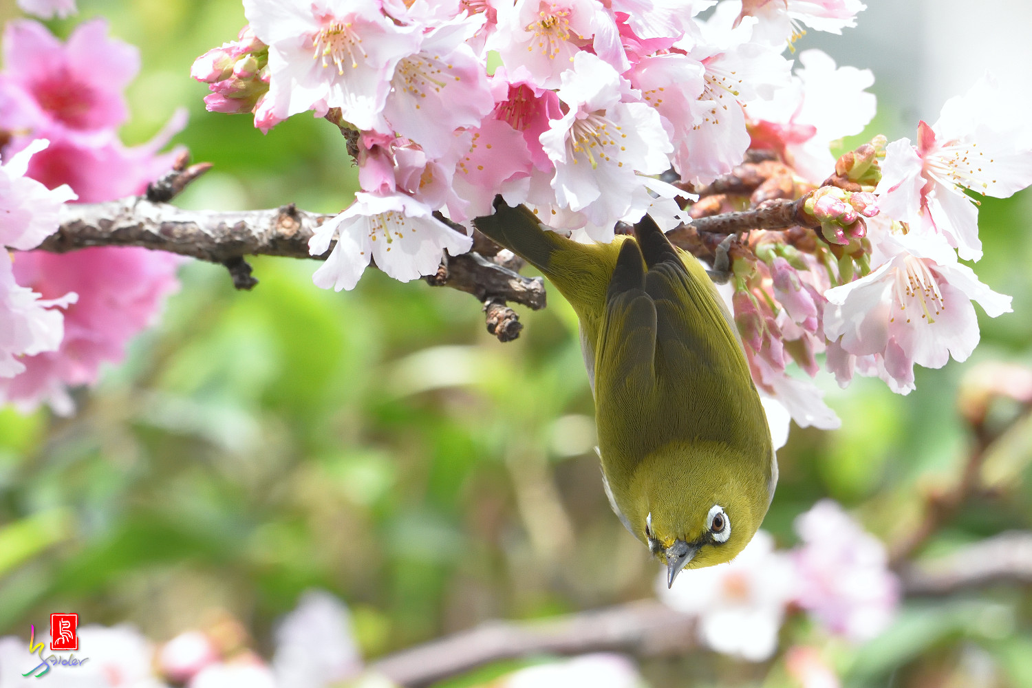 White-eye_Sakura_4427