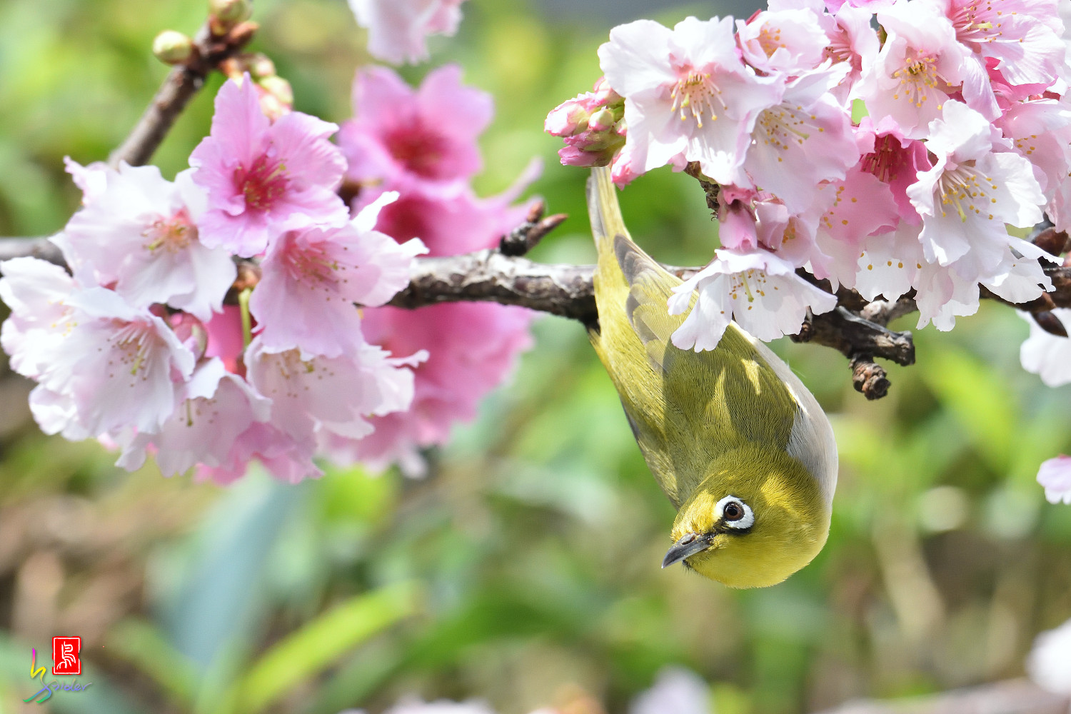 White-eye_Sakura_4412
