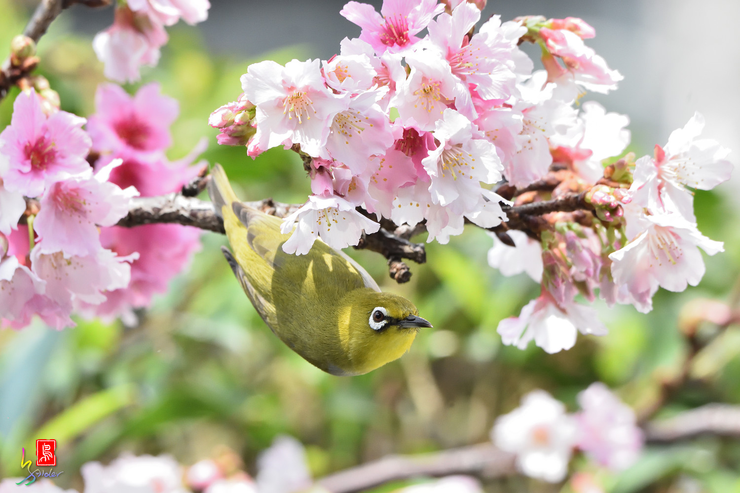 White-eye_Sakura_4407