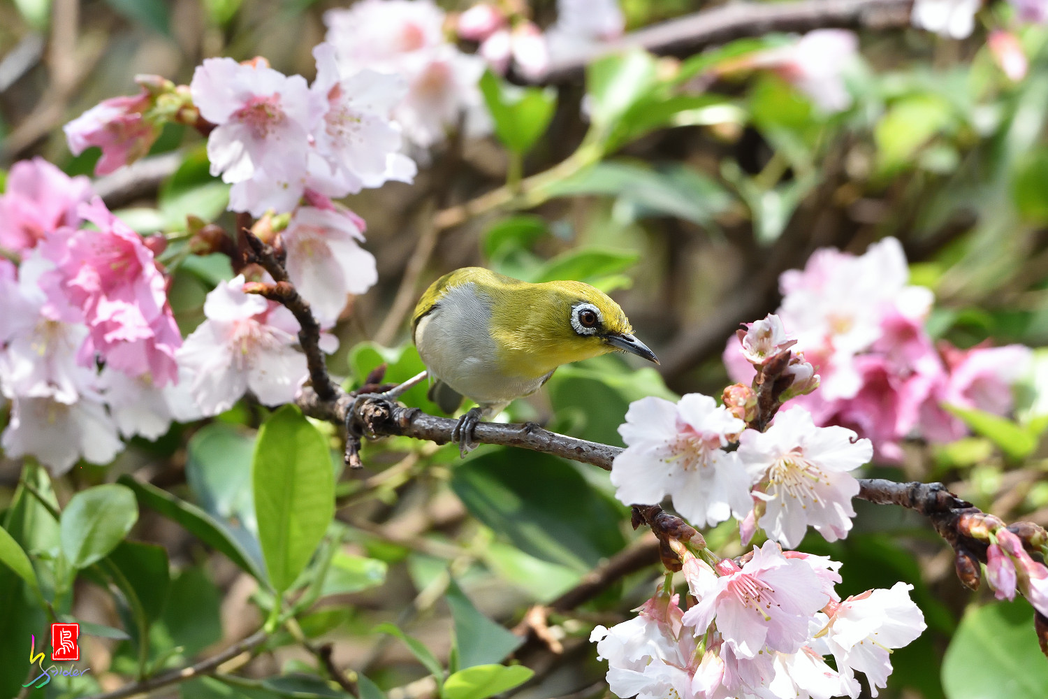 White-eye_Sakura_4382