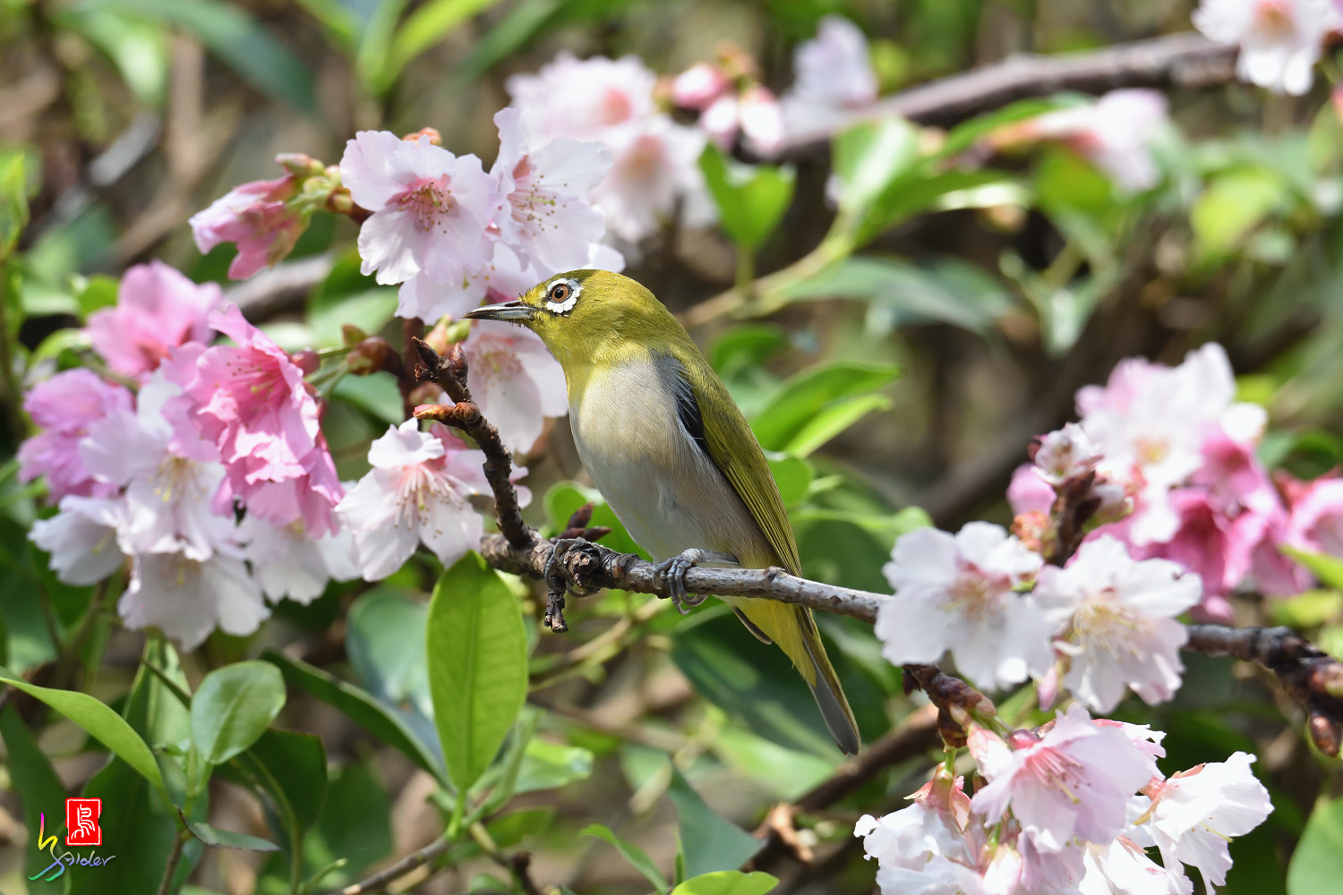 White-eye_Sakura_4375