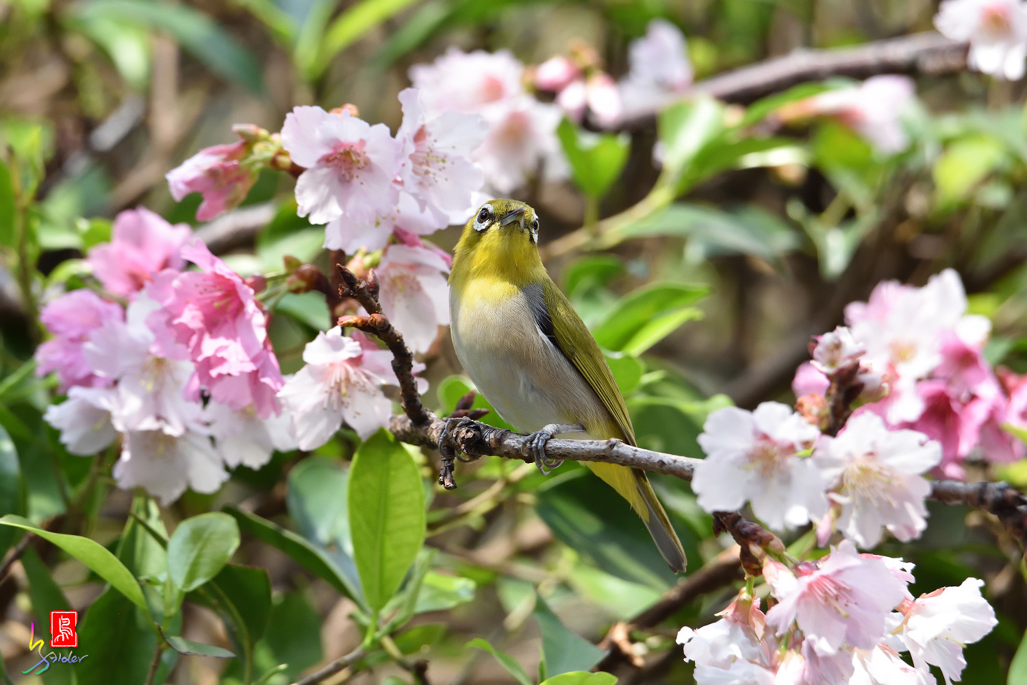White-eye_Sakura_4371