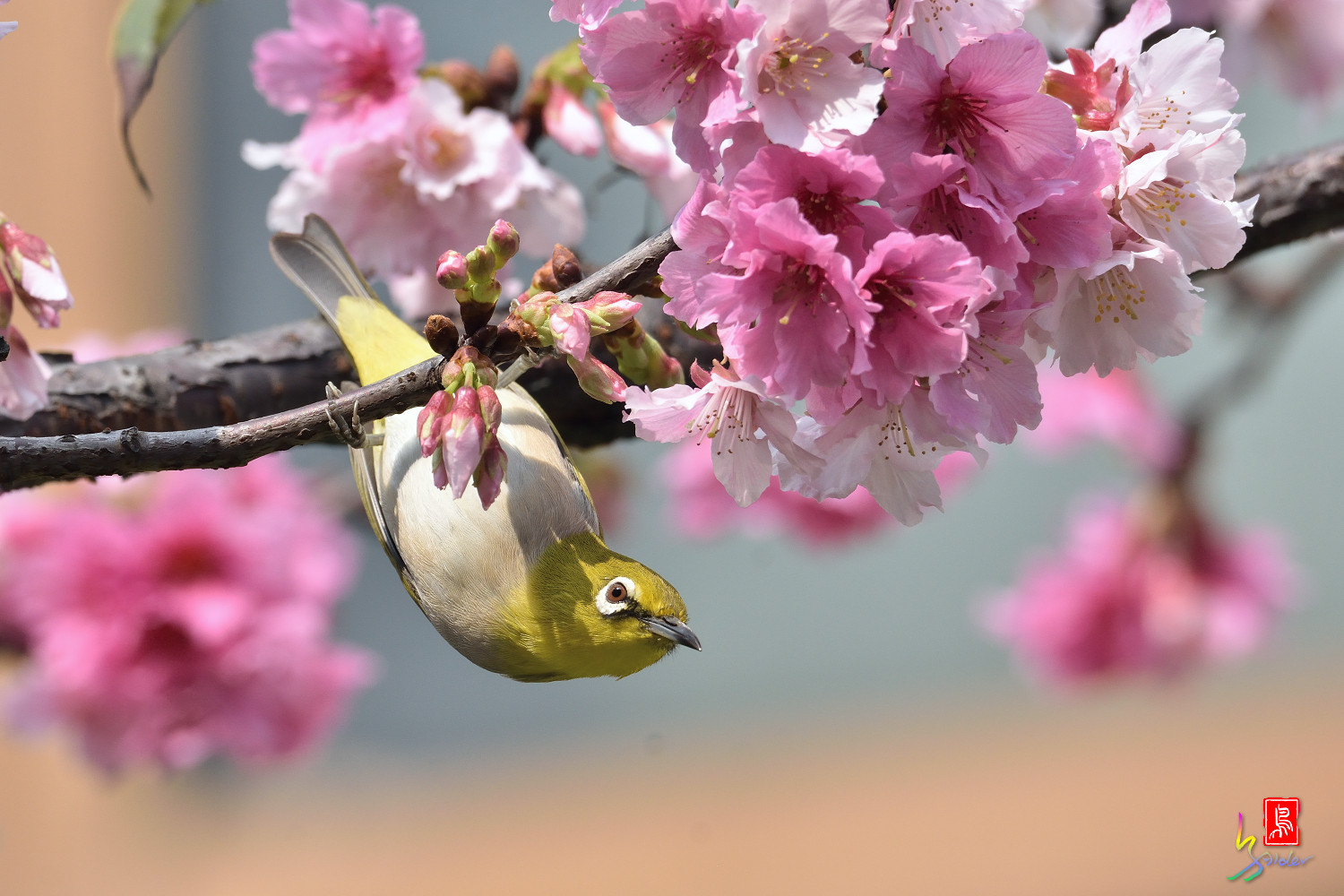 White-eye_Sakura_4353