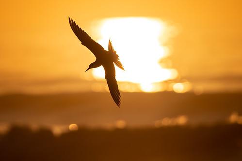 bird birds birding nature wildlife animals birdsinflight wildlifephotography naturephotography sun sunrise drdadbooks danieladauriamd july2019 lbi longbeachisland newjersey