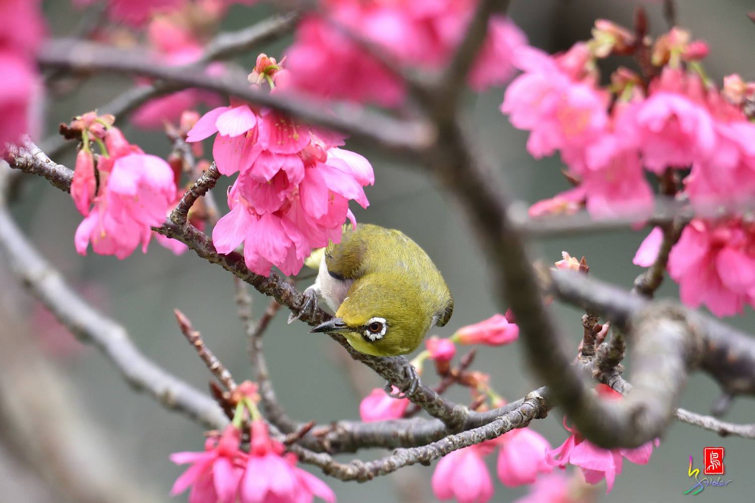 White-eye_Sakura_3746