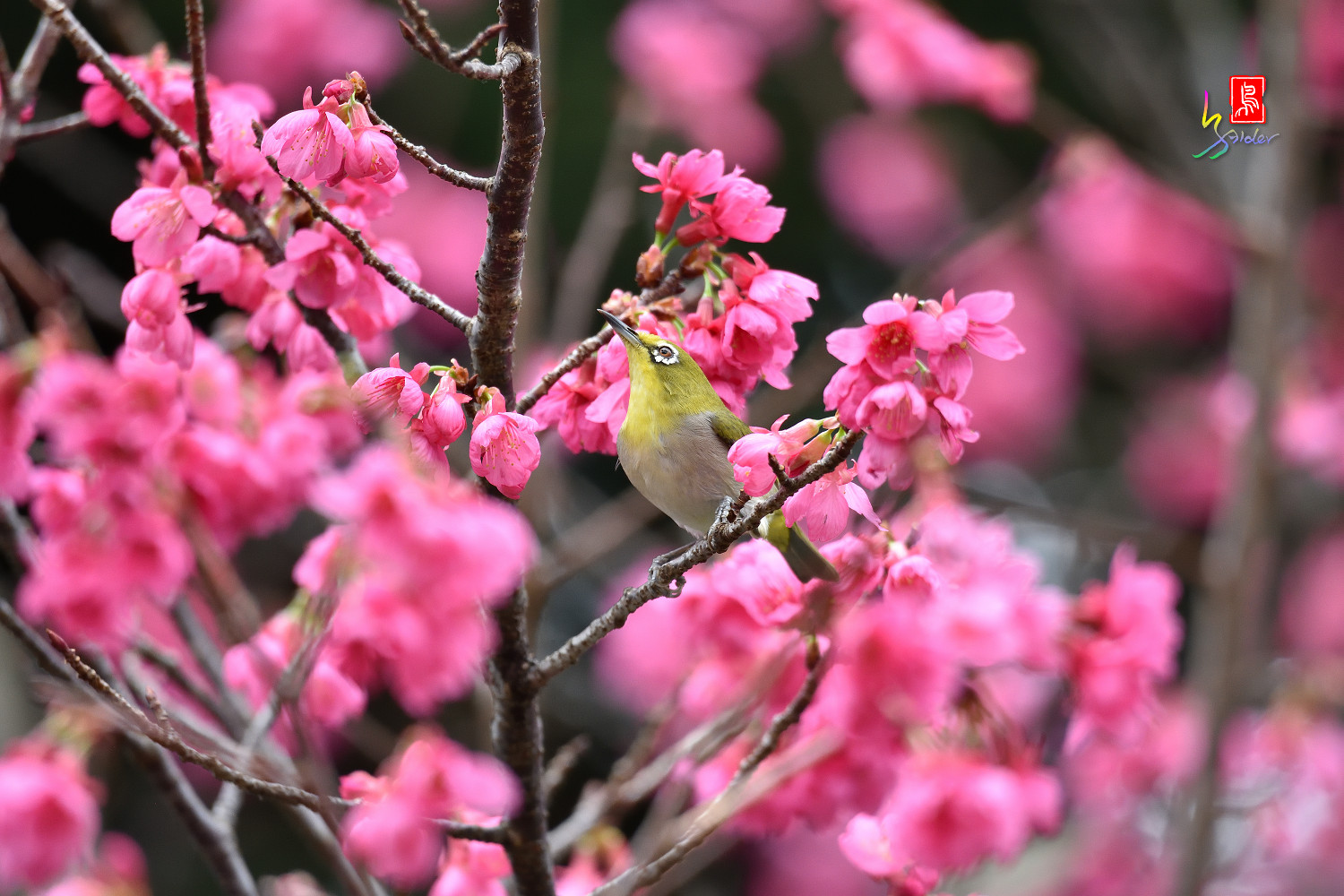 White-eye_Sakura_3737