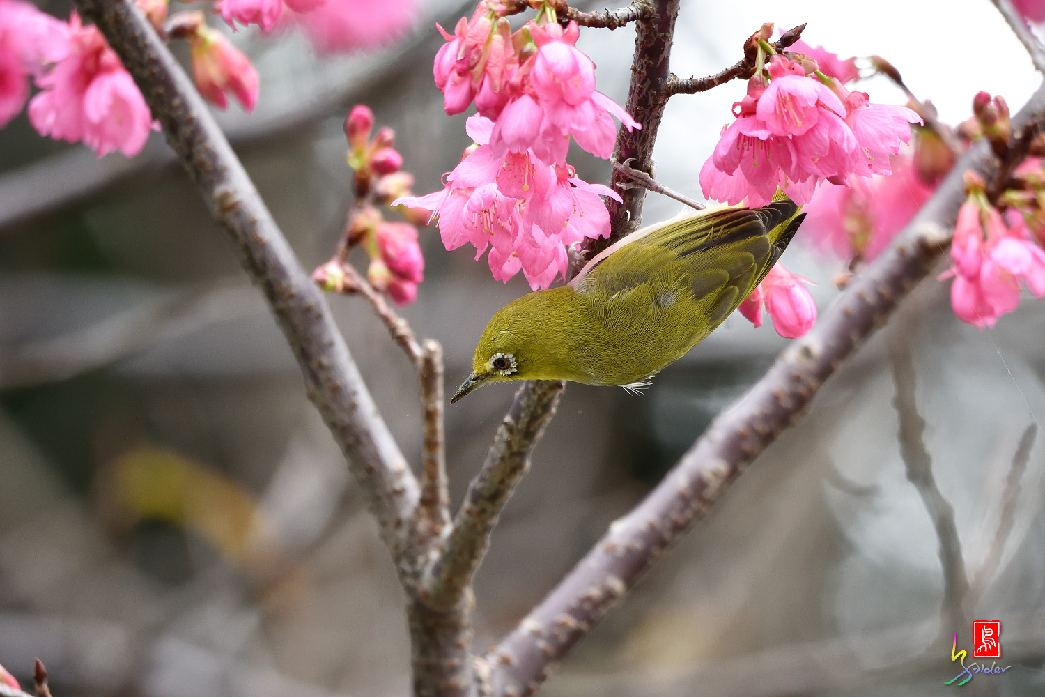 White-eye_Sakura_3667