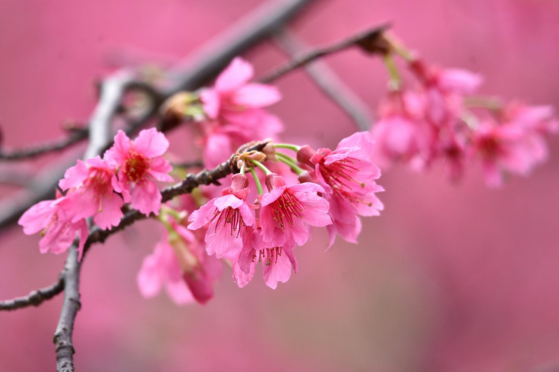 Sakura_3642